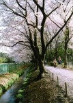 Row of cherry blossom trees along the Honda green path
