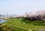 The cherry blossom levee along the river bed of the Yanase River
