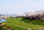柳瀬川河川敷の桜堤