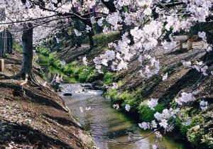 本多緑道の桜