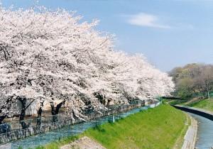 黒目川沿いの桜並木