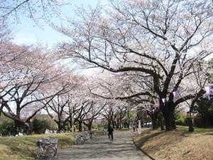 栄緑道の桜