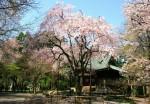 4月8日撮影 平林寺