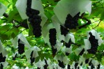 ブドウ狩りイメージ